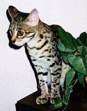 Junglebook Bonsaii : F2 Queen :  QGC Musang Spitting Image x Si Bel  Sheng of Junglebook