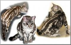Junglebook Natural Blonde: F4 queen,  silver seal mink marble: Junglebook Cubby  Coo x Junglebook Powderpuff