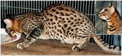 Junglebook Designer Genes : F3 Queen :  Barbs Sungod Ra of Junglebook x  Junglebook Tauna