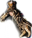 Junglebook Margay Illustrated : SBT Stud :  DGC Nola Voodoo Magic of Junglebook x  IW SGC Junglebook Virtual Reality