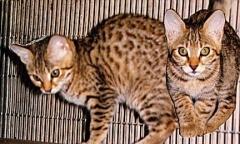 Junglebook Deco Vermeil: F3 Queen:  Goldenmagi Vontagelite of Junglebook x Junglebook Art Deco Renaissance