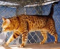 Golden Magi Vontagelite of Junglebook:  SBT Stud: QGC Noah Charlie Sheen Of  Goldenmagi x Alcat Sienna Of Goldenmagi